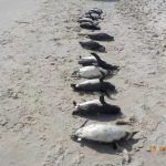 Pinguins mortos em Florianópolis